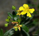 Roundseed St. Johnswort