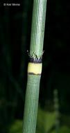 Equisetum hyemale var. affine