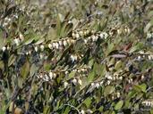 Chamaedaphne calyculata