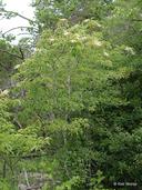 Oxydendrum arboreum