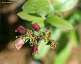 Vaccinium myrtilloides