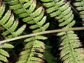 Athyrium filix-femina var. angustum