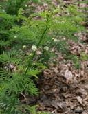 Desmanthus illinoensis