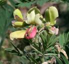 Tephrosia virginiana
