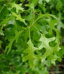 Quercus ellipsoidalis