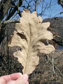 Quercus macrocarpa