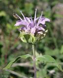 Monarda fistulosa var. menthifolia