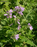 Physostegia virginiana ssp. virginiana