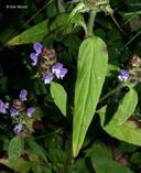 Prunella vulgaris ssp. lanceolata