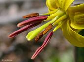 Erythronium americanum ssp. americanum