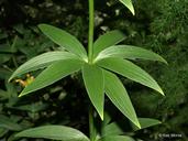 Lilium michiganense
