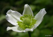 Anemone virginiana