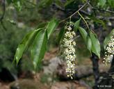 Prunus serotina var. serotina