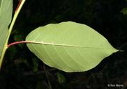 Prunus virginiana var. virginiana