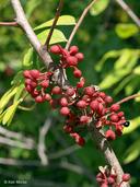 Zanthoxylum americanum