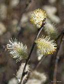 Salix humilis var. humilis