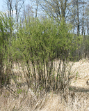 Salix petiolaris