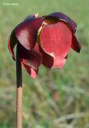Sarracenia purpurea ssp. Purpurea
