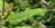 Chamerion angustifolium