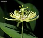 Passiflora lutea