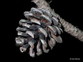 Pinus resinosa