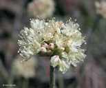 Few-flower Wild-buckwheat
