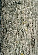 Tilia americana