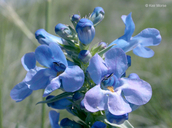 Broad-beard Beardtongue