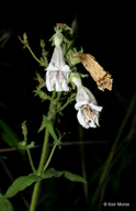 Pale Penstemon
