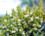 Phoradendron juniperinum