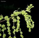 Urtica dioica ssp. gracilis