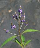 Verbena hastata
