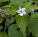 Viola canadensis var. canadensis