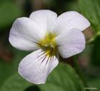 Viola canadensis var. rugulosa
