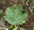 Malacothamnus marrubioides