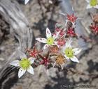 Dudleya blochmaniae