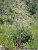 Malacothamnus densiflorus