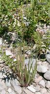 Juncus ensifolius var. ensifolius