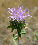 Shelton's Coyote Mint