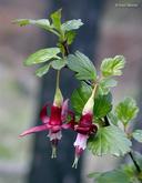 Ribes roezlii var. cruentum