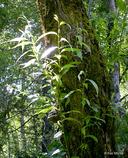 Salix lucida ssp. lasiandra