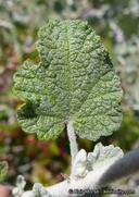 Malacothamnus arcuatus