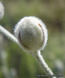 Malacothamnus niveus