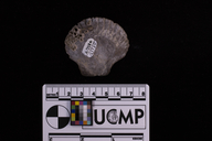 Balanus amphitrite - Striped barnacle -- Discover Life