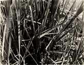 Agelaius phoeniceus californicus