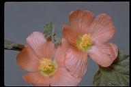 Sphaeralcea sp.