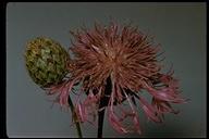 Centaurea debeauxii