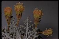 Chaenactis douglasii var. douglasii