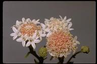Chaenactis stevioides