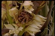 Yucca sp.